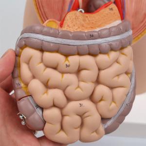 膵臓・大腸・小腸