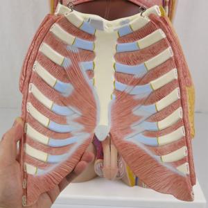 胸部:背面