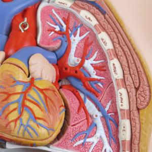 左肺:気管支・肺動脈・肺静脈