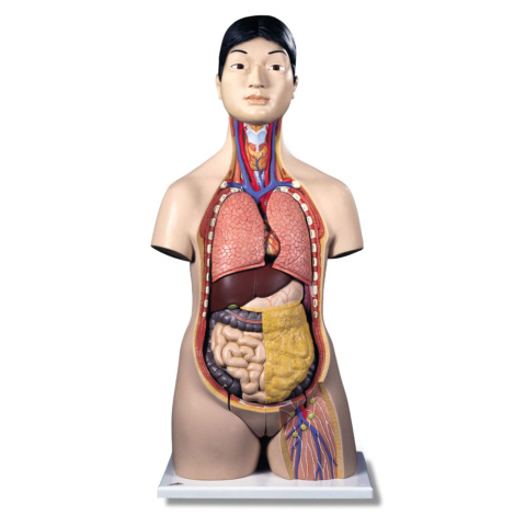 日本人トルソー,18分解モデル,両性