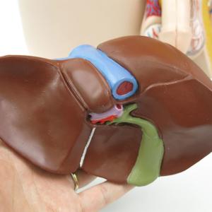肝臓の背面:胆嚢