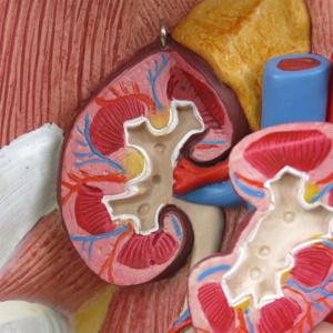 右の腎臓は分解できます
