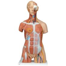 筋肉トルソー,31分解モデル,両性,背側開放型