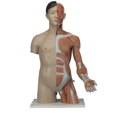上肢付筋肉トルソー,33分解モデル,両性,アジア仕様