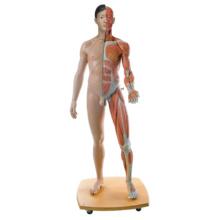 筋肉解剖等身大両性型39分解モデル,アジア仕様