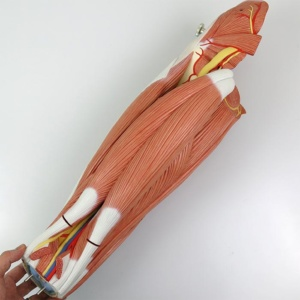 大腿:背面