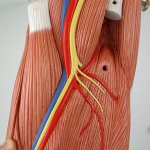大腿:動脈・静脈・神経