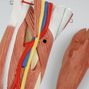 下腿:動脈・静脈・神経