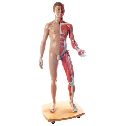 筋肉解剖等身大両性型39分解モデル,ヨーロッパ仕様