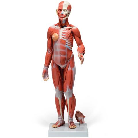 筋肉解剖,1/2倍大・33分解モデル,両性
