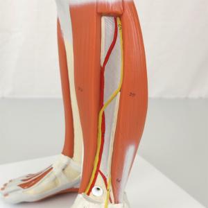 正面:下腿
