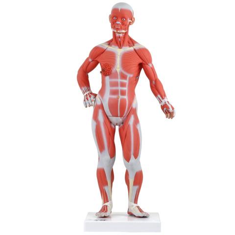 筋肉解剖,1/4倍大・2分解モデル,無性
