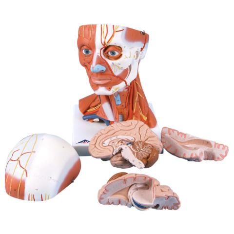 頭・頚部の筋,3/4倍大・5分解モデル,脳付