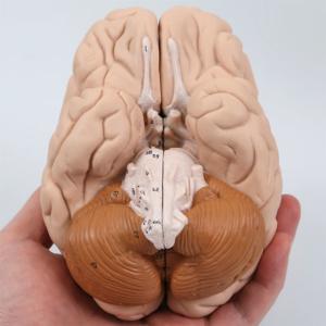 脳:下側より