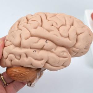 右脳:側面