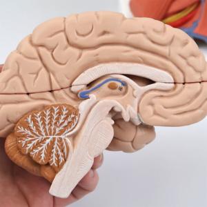 左脳:断面