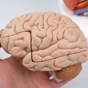 左脳:側面