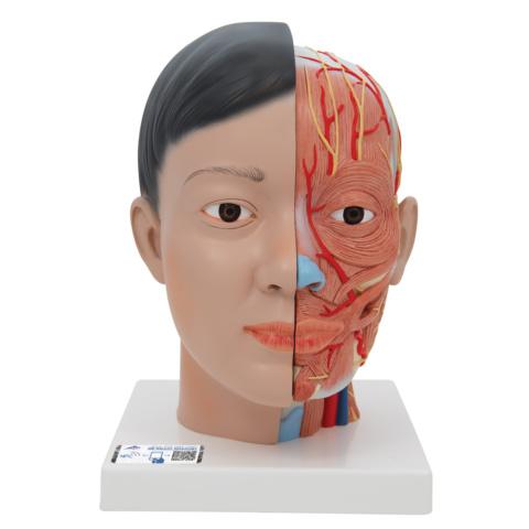 頭部,頚部付4分解モデル,アジア仕様
