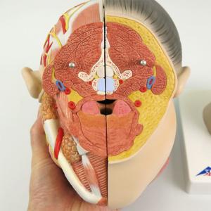 頚部の断面(頭部側)