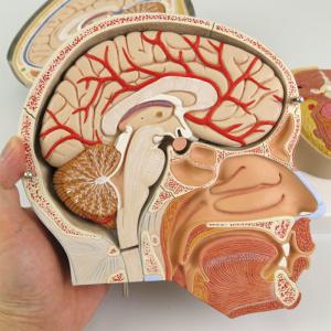 左半頭の断面