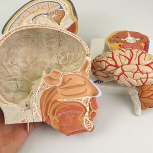 左半頭の脳は取り外せます