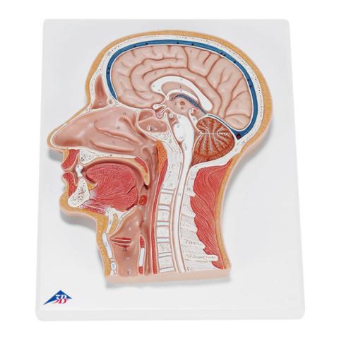 頭部断面モデル,正中矢状断