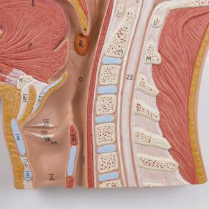 喉頭・頚椎
