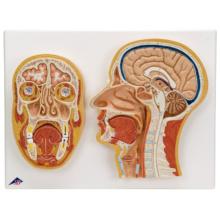 頭部断面モデル,正中矢状断,前額断