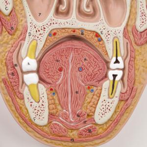 眼窩:鼻腔・口腔