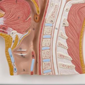 正中矢状断面:喉頭・頚椎