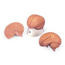 脳,2分解モデル,無着色