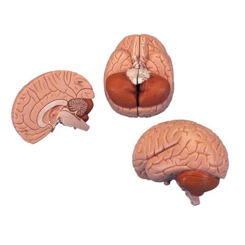 脳,2分解モデル