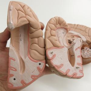 大脳を分解,海馬など確認できます