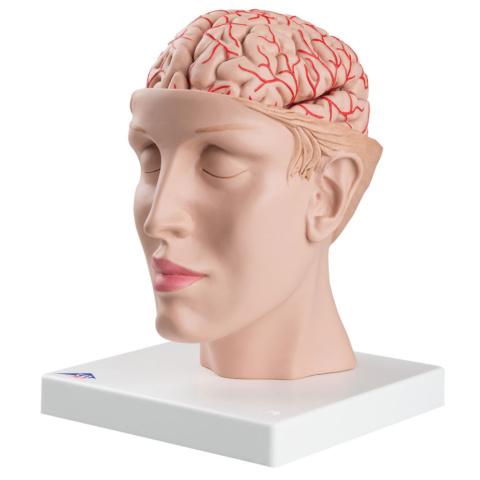 頭部,9分解モデル,動脈,頭蓋底付