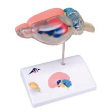 ラットの脳比較解剖モデル