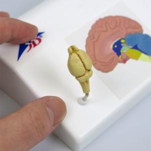 ラットの脳,実物大