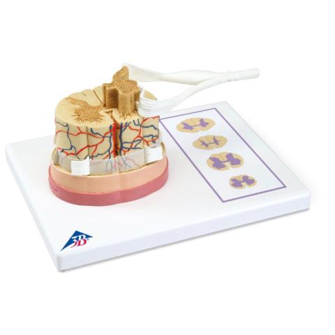 脊髄と脊髄神経根モデル