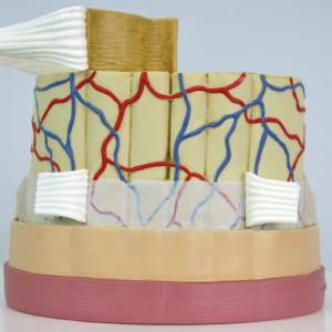 脊髄:正面