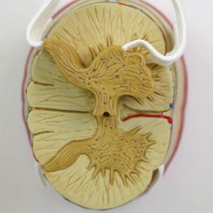 脊髄の断面