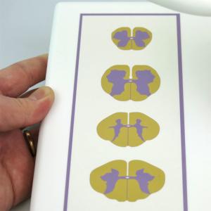 頸部~腰部の脊髄の断面
