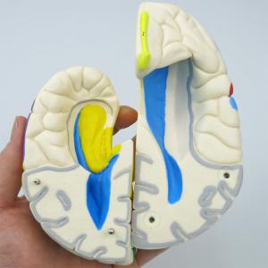 大脳:分解し内部まで観察できます