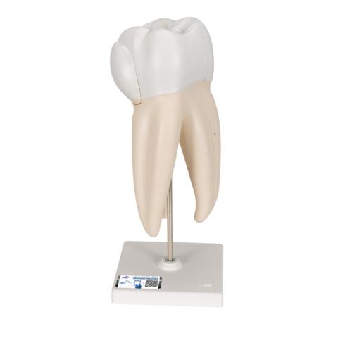 上顎大臼歯(3根)モデル,縦断3分解