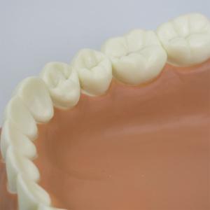 切歯や犬歯,大臼歯など正確に再現