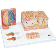 舌の組織構造モデル