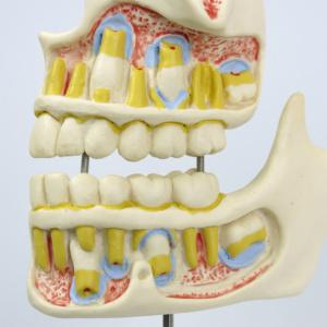 9才児(乳歯と永久歯の生え変わり)