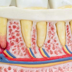 歯根・神経・血管を表示