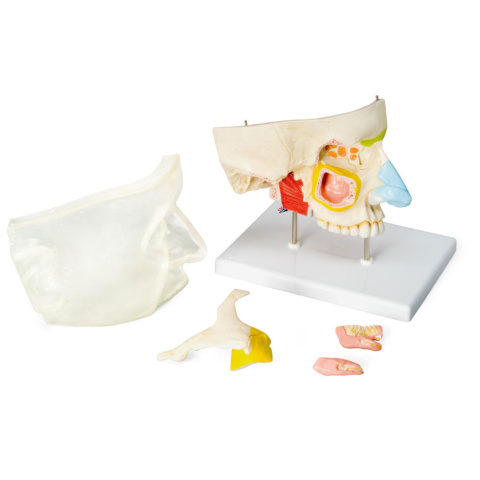 鼻腔と副鼻腔の構造,5分解モデル
