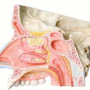矢状断面:鼻腔と副鼻腔の構造