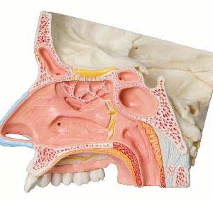 鼻甲介を取外し,内部構造を確認