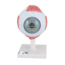 視覚器(眼球),5倍大・6分解ジャイアントモデル